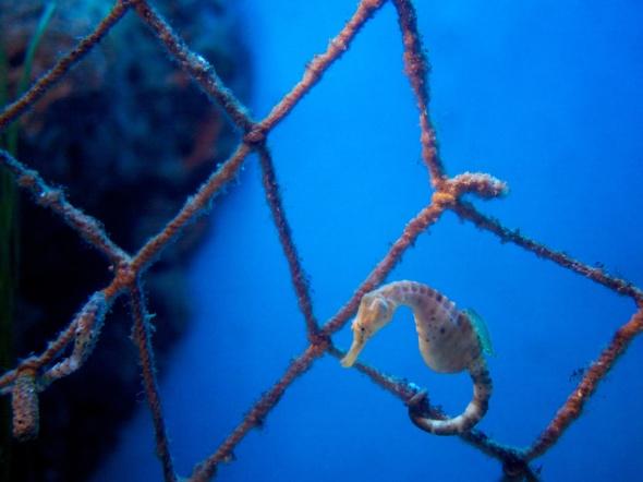 Seahorse on Net