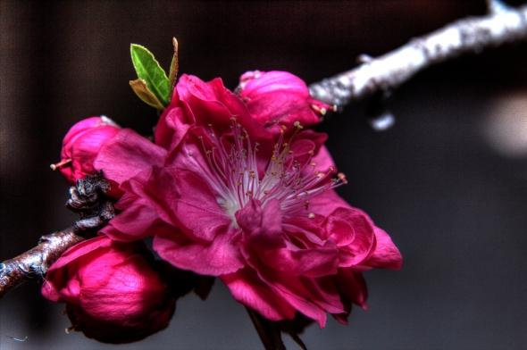 Azalea ( Azalea indica )