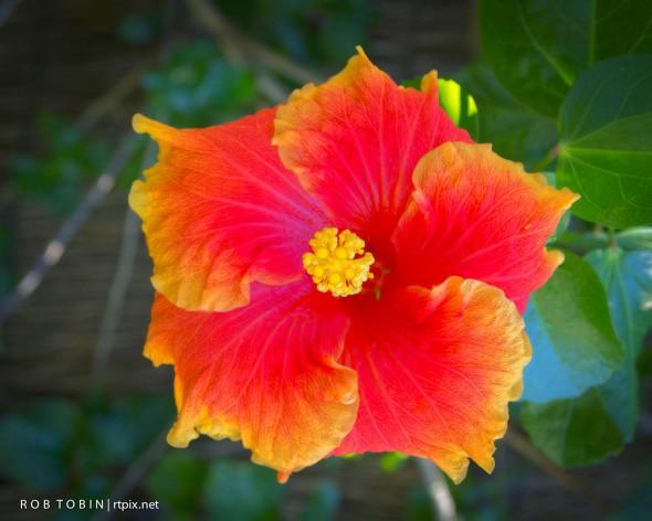 Hawaiian Variegated Hibiscus