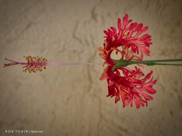 Chinese Hibiscus ?