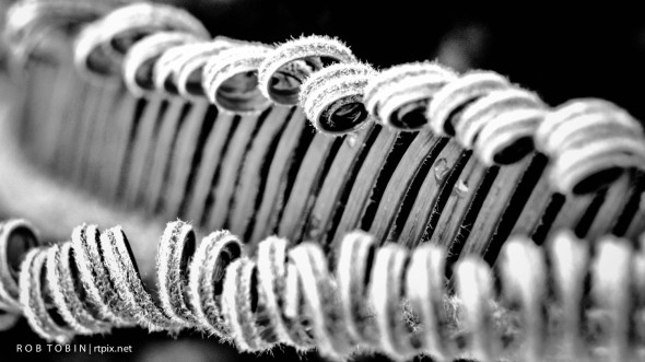 Curling Fern with water drop