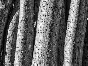 Pandanus Root